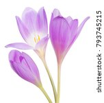 light lilac crocus flowers... | Shutterstock . vector #793745215