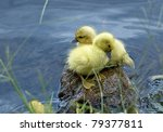 Baby Ducks On A Lake.