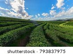 beautiful tea plantation with... | Shutterstock . vector #793837975