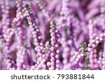 evergreen heather blossoms... | Shutterstock . vector #793881844