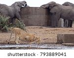 Lioness Drinking In Front Of...