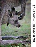 kangaroo and her baby kangaroo...   Shutterstock . vector #793916401