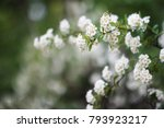 beautiful flowers of spiraea... | Shutterstock . vector #793923217