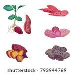 sweet potato set isolated on... | Shutterstock .eps vector #793944769