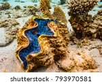 Giant Clam Coral Bay Western...