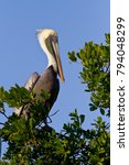 Brown Pelican Sitting On The...