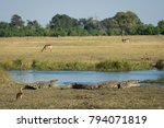 Small photo of A horizontal, colour image of life in the Okavango delta, Botswana, with two crocodiles, Crocodylus niloticus, some lechwe, Kobus leche, and an Egyptian goose, Alopochen aegyptiacus.