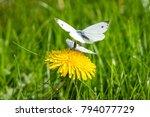 pieris brassicae butterflies in ... | Shutterstock . vector #794077729
