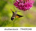 Hummingbird Hawk Moth Nectaring ...