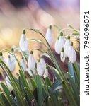 snowdrop closeup background   Shutterstock . vector #794096071
