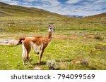 guanako  patagonia  south... | Shutterstock . vector #794099569