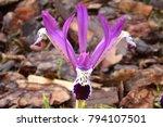 Dwarf Iris Reticulata Spot On   ...