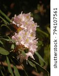 Small photo of pink mountain laurel flower