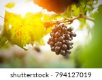 red grapes ready to be...   Shutterstock . vector #794127019