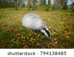 badger in the forest  animal in ... | Shutterstock . vector #794138485