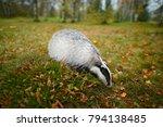 badger in forest  animal nature ... | Shutterstock . vector #794138485