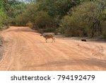 axis deer in yala national park ... | Shutterstock . vector #794192479