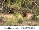axis deer in yala national park ... | Shutterstock . vector #794192485