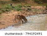 axis deer in yala national park ... | Shutterstock . vector #794192491