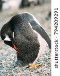 gentoo penguin  pygoscelis... | Shutterstock . vector #794209291