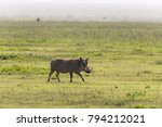 female warthog running | Shutterstock . vector #794212021