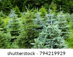green young conifers | Shutterstock . vector #794219929