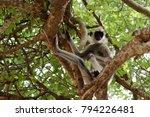 southern hanuman langur in yala ... | Shutterstock . vector #794226481