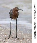 Reddish Egret Standing On One...