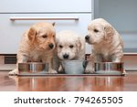 Stock photo puppies eating food in the kitchen like little gourmets 794265505