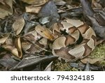 Small photo of Southern Copperhead (Agkistrodon contortrix contortrix)