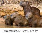 herd of capybara on riverbank...   Shutterstock . vector #794347549