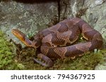 Small photo of Northern Copperhead (Agkistrodon contortrix mokeson), NJ