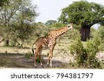the giraffe  giraffa   genus of ... | Shutterstock . vector #794381797
