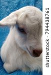 Small photo of saanen baby goat white pet