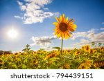 one sunflower rising above the... | Shutterstock . vector #794439151