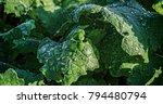 fresh green salad leaves...   Shutterstock . vector #794480794