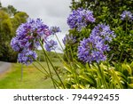 Blooming Agapanthus  Or Lily O...