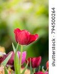 beautiful bouquet of tulips.... | Shutterstock . vector #794500264