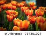 beautiful bouquet of tulips.... | Shutterstock . vector #794501029
