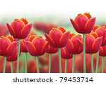 A Bright Red Tulip Flower...
