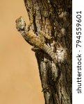 Cyprus Agama Lizard  Stellagam...