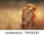 Big Male Lion Lying In Dense...