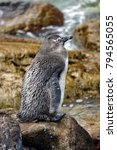 Small photo of Juvenile African penguin (Spheniscus demersus) in a colony at Betty's Bay, near Cape Town, South Africa