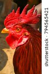 a healthy cock ready to fight... | Shutterstock . vector #794565421