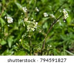 shepherd's purse or capsella... | Shutterstock . vector #794591827