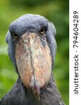 the shoebill  balaeniceps rex ... | Shutterstock . vector #794604289