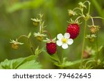 Red And Unripe Wild Strawberry...