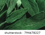 macro photography of fresh sage.... | Shutterstock . vector #794678227