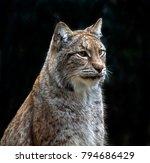 portrait of sitting eurasian...   Shutterstock . vector #794686429