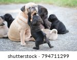 new born pug dog playing with... | Shutterstock . vector #794711299